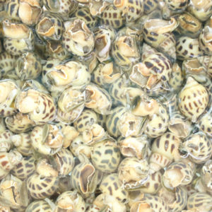 ốc hương sống size 90 - 100 con/kg