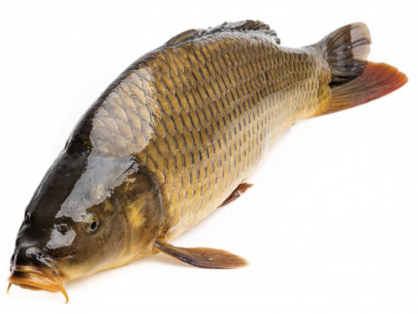 cá chép giòn 1.8 - 4kg