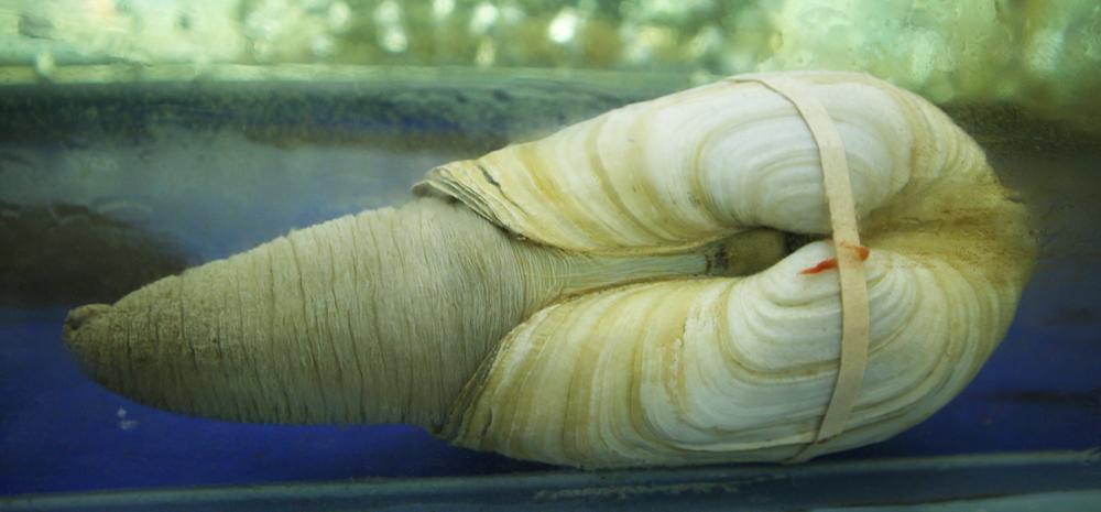 ốc vòi voi trong hồ nước biển lạnh