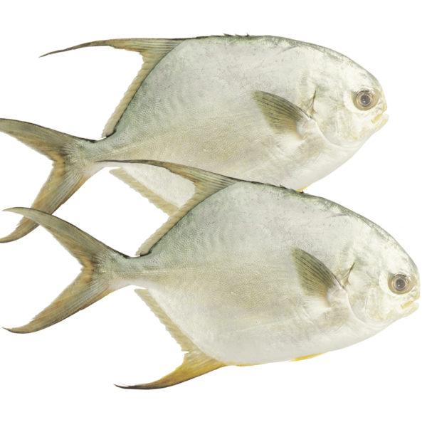 Kết quả hình ảnh cho cá chim trắng