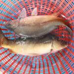 cá chuỗi ngọc