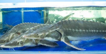 cá tầm trong hồ nước lạnh